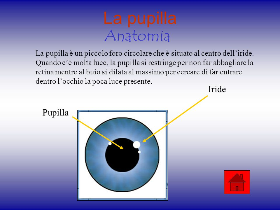 La pupilla Anatomia Iride Pupilla