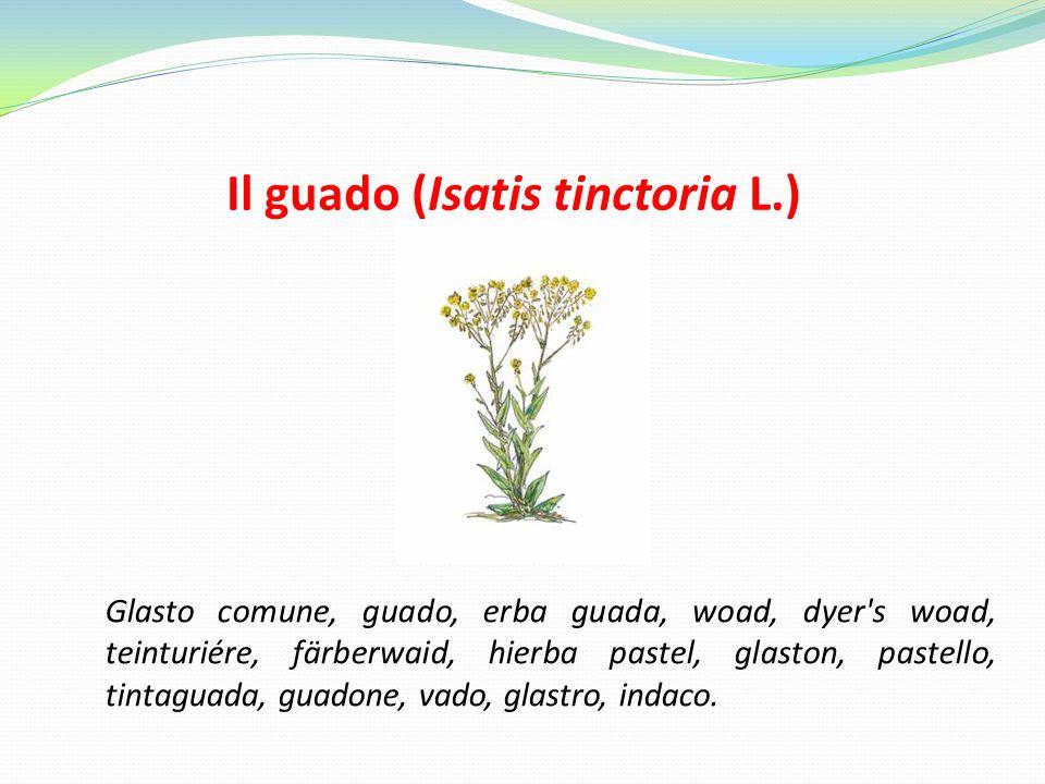 Il guado (Isatis tinctoria L.)