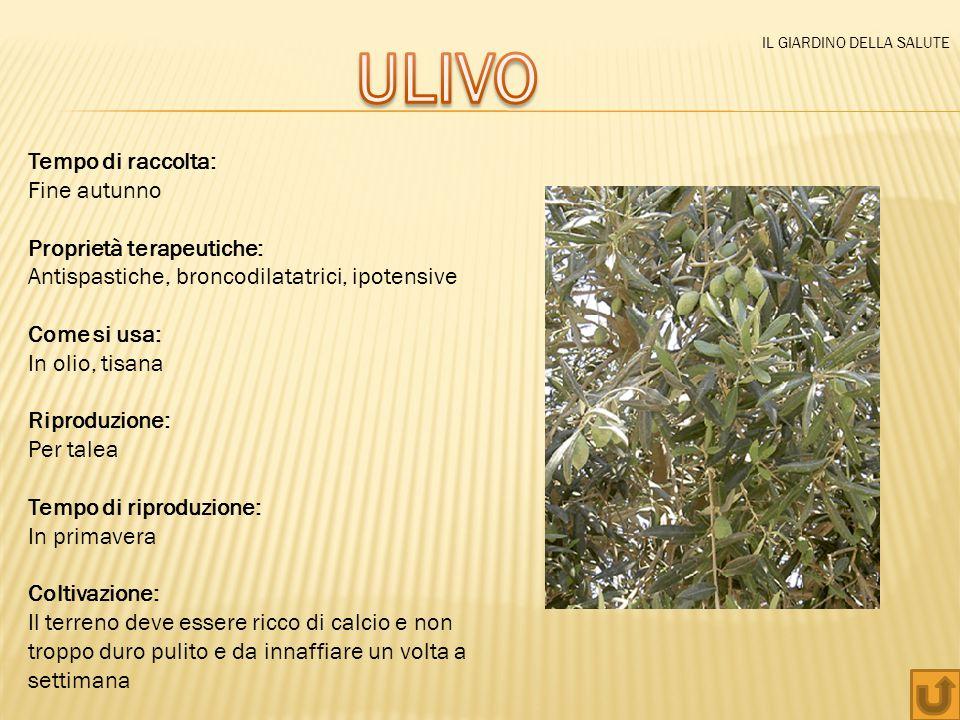ULIVO Tempo di raccolta: Fine autunno Proprietà terapeutiche: