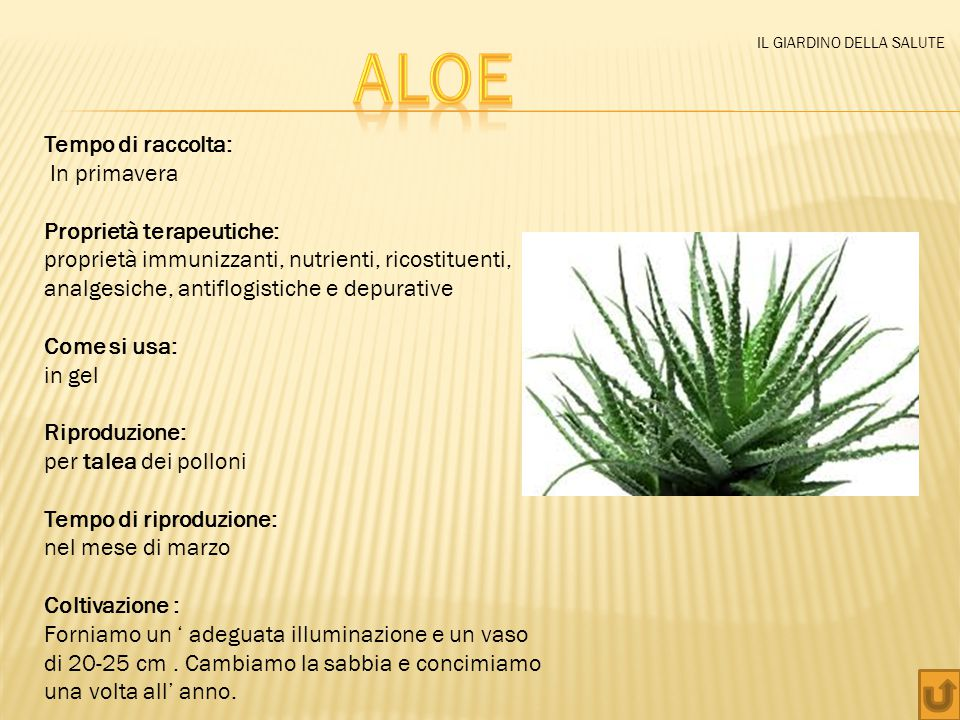 Aloe Tempo di raccolta: In primavera Proprietà terapeutiche: