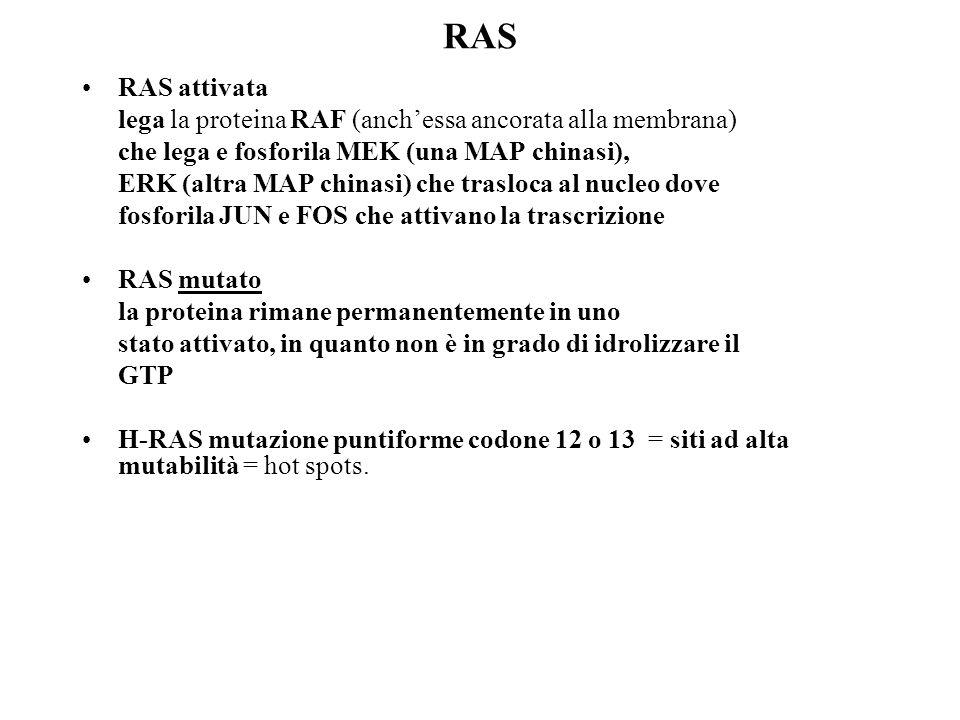 RAS RAS attivata. lega la proteina RAF (anch'essa ancorata alla membrana) che lega e fosforila MEK (una MAP chinasi),