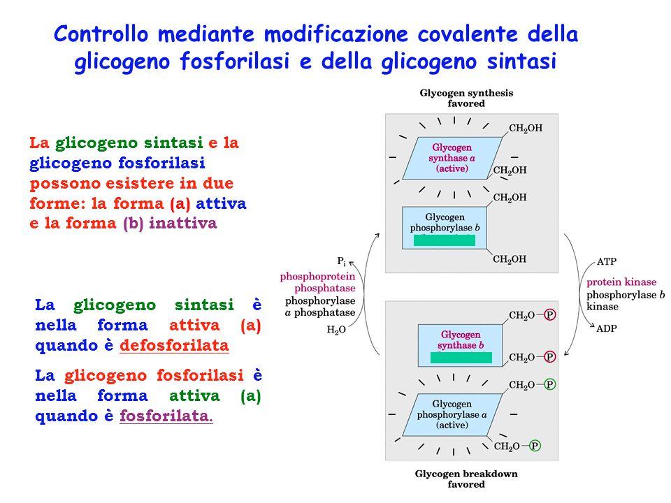 Controllo mediante modificazione covalente della glicogeno fosforilasi e della glicogeno sintasi