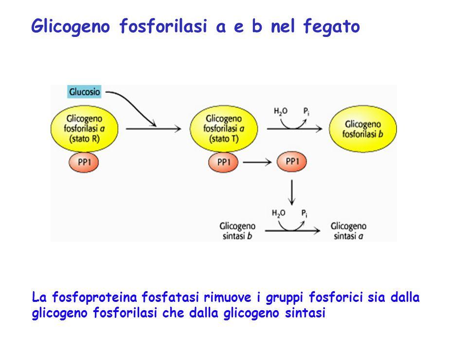 Glicogeno fosforilasi a e b nel fegato