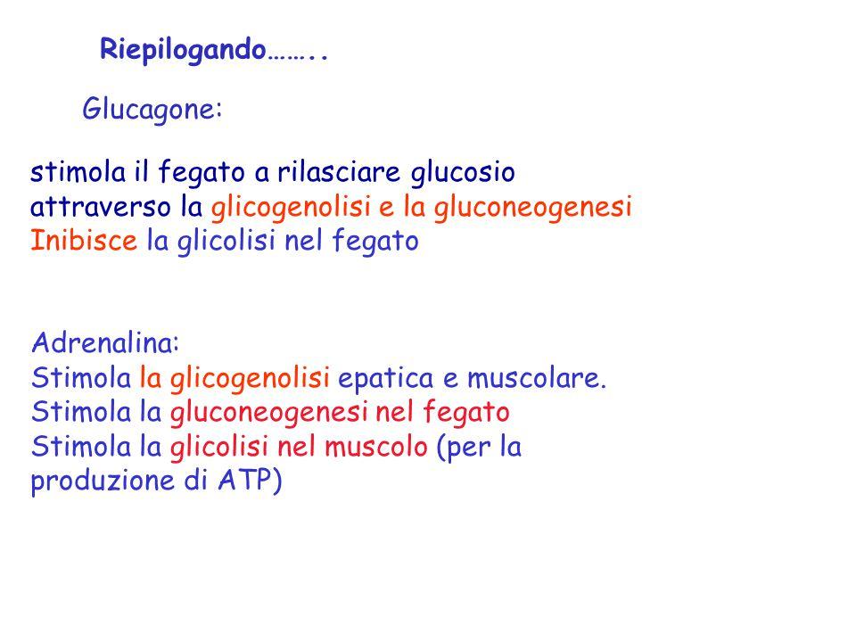 Riepilogando…….. Glucagone: stimola il fegato a rilasciare glucosio attraverso la glicogenolisi e la gluconeogenesi.