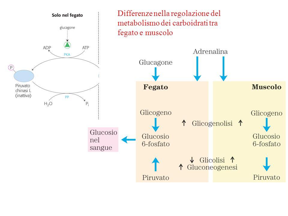 Differenze nella regolazione del metabolismo dei carboidrati tra