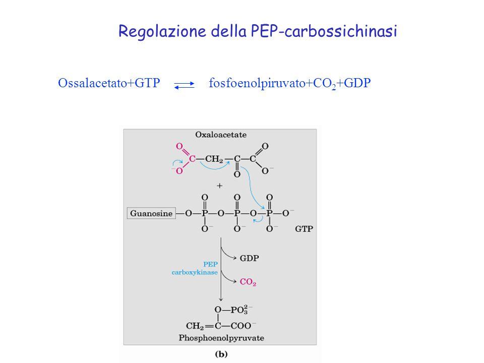 Regolazione della PEP-carbossichinasi