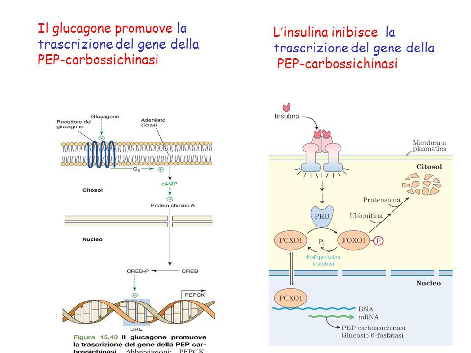 Il glucagone promuove la trascrizione del gene della PEP-carbossichinasi
