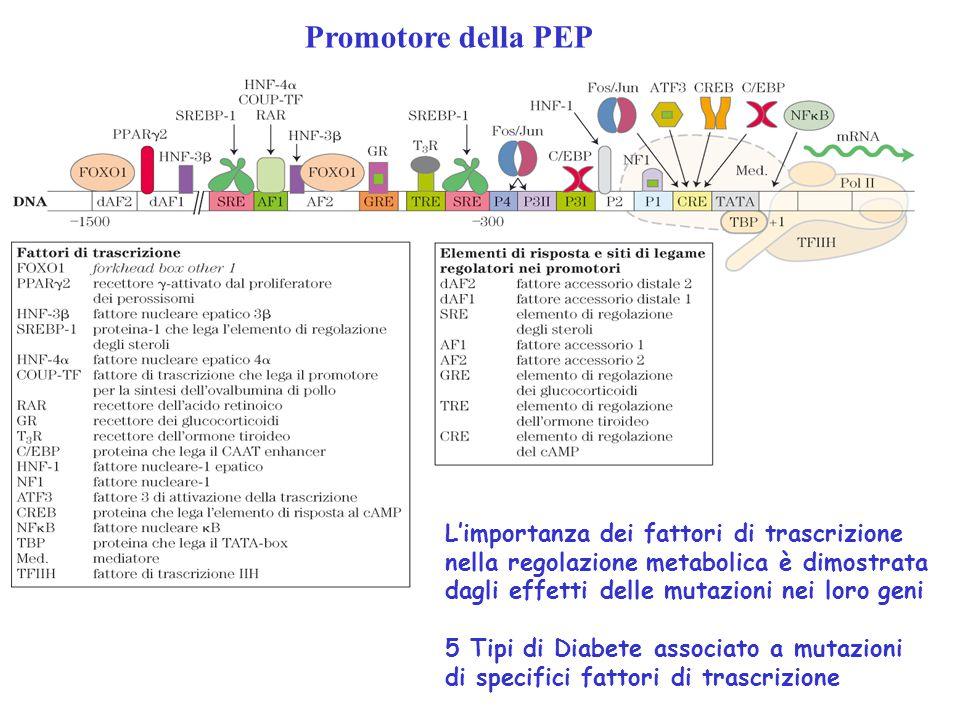 Promotore della PEP L'importanza dei fattori di trascrizione nella regolazione metabolica è dimostrata dagli effetti delle mutazioni nei loro geni.