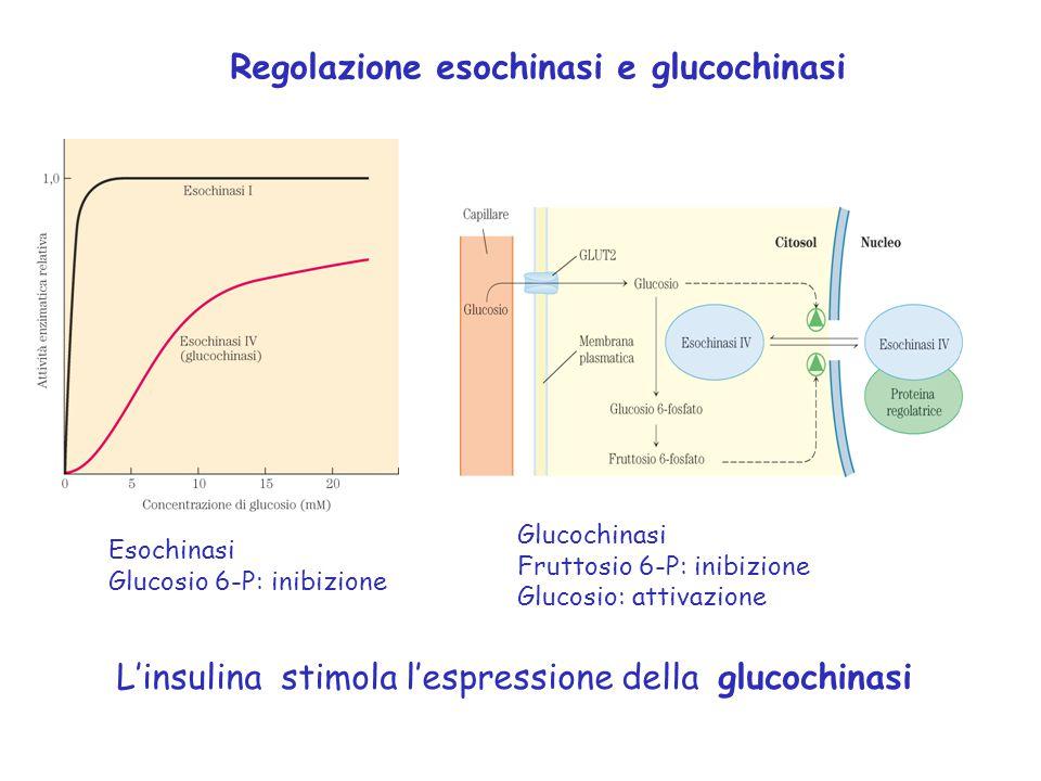 Regolazione esochinasi e glucochinasi