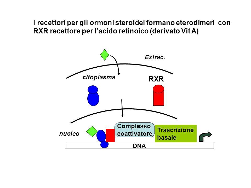 I recettori per gli ormoni steroideI formano eterodimeri con