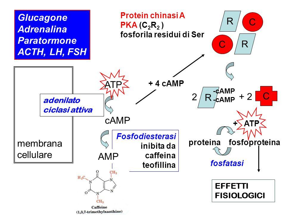 Glucagone R C Adrenalina Paratormone ACTH, LH, FSH ATP 2 + 2 membrana
