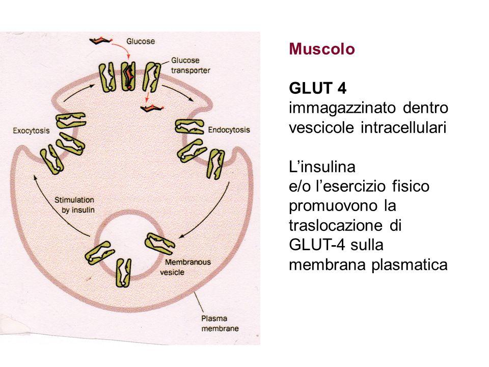 Muscolo GLUT 4 immagazzinato dentro vescicole intracellulari. L'insulina e/o l'esercizio fisico. promuovono la.