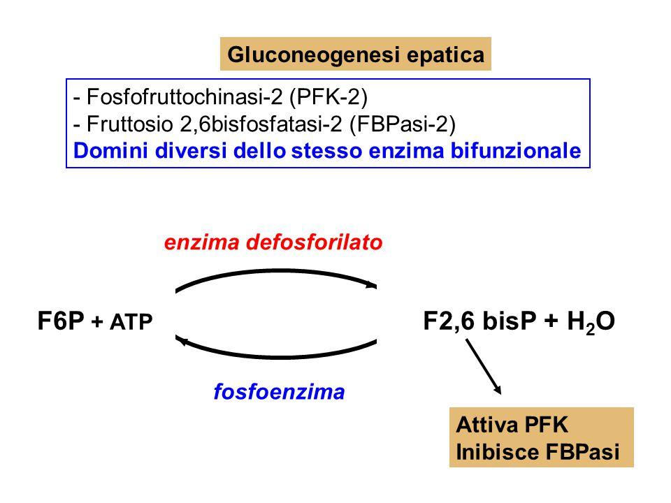 F6P + ATP F2,6 bisP + H2O Gluconeogenesi epatica