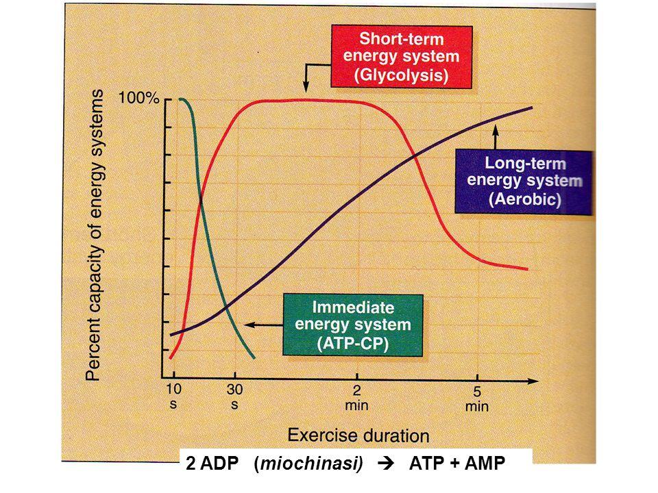 2 ADP (miochinasi)  ATP + AMP