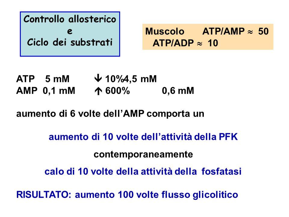 Controllo allosterico e Ciclo dei substrati Muscolo ATP/AMP  50