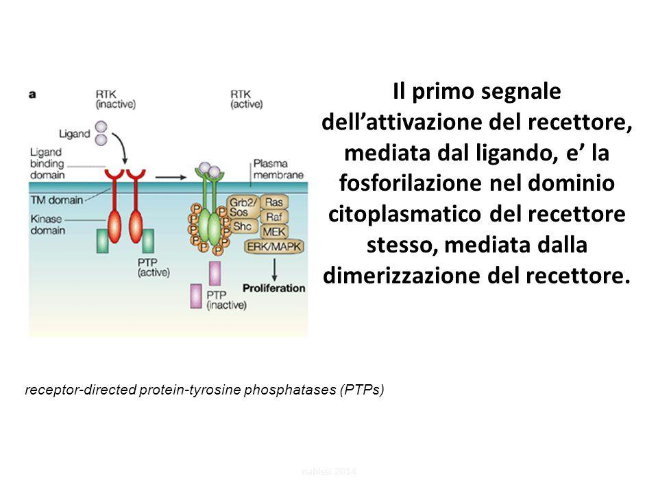 Il primo segnale dell'attivazione del recettore, mediata dal ligando, e' la fosforilazione nel dominio citoplasmatico del recettore stesso, mediata dalla dimerizzazione del recettore.
