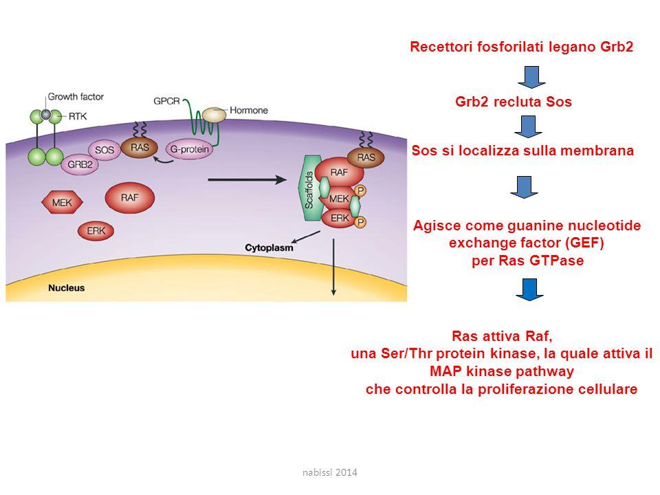 Recettori fosforilati legano Grb2