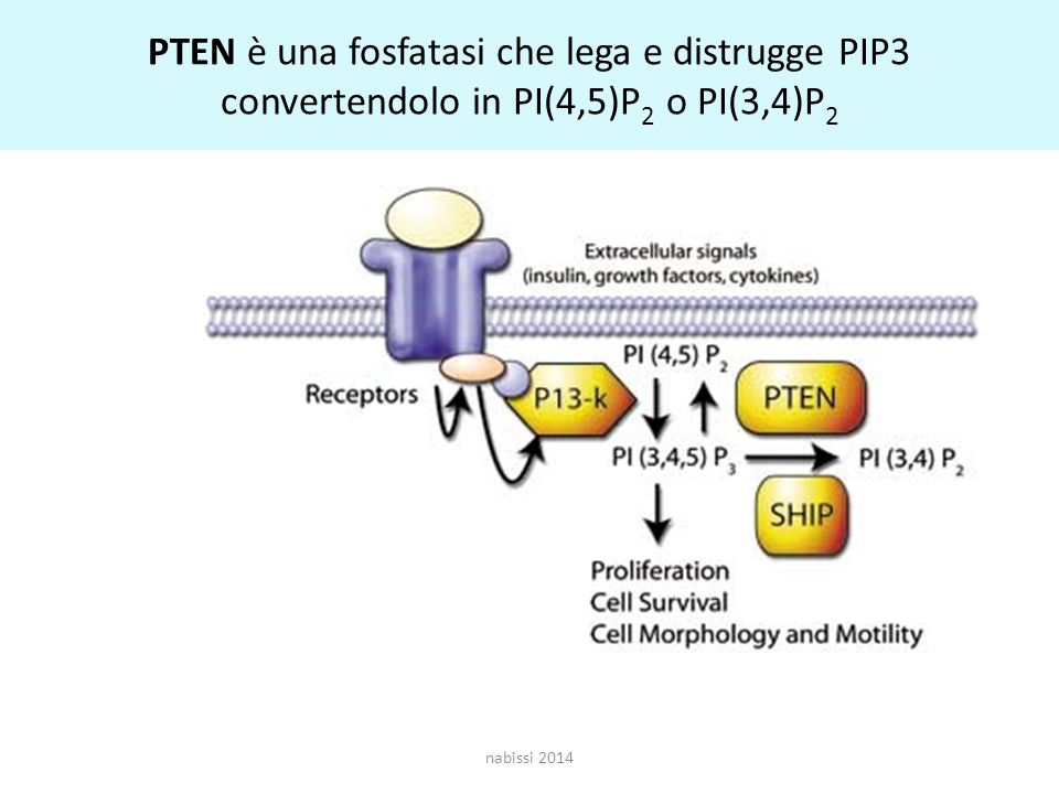 PTEN è una fosfatasi che lega e distrugge PIP3 convertendolo in PI(4,5)P2 o PI(3,4)P2
