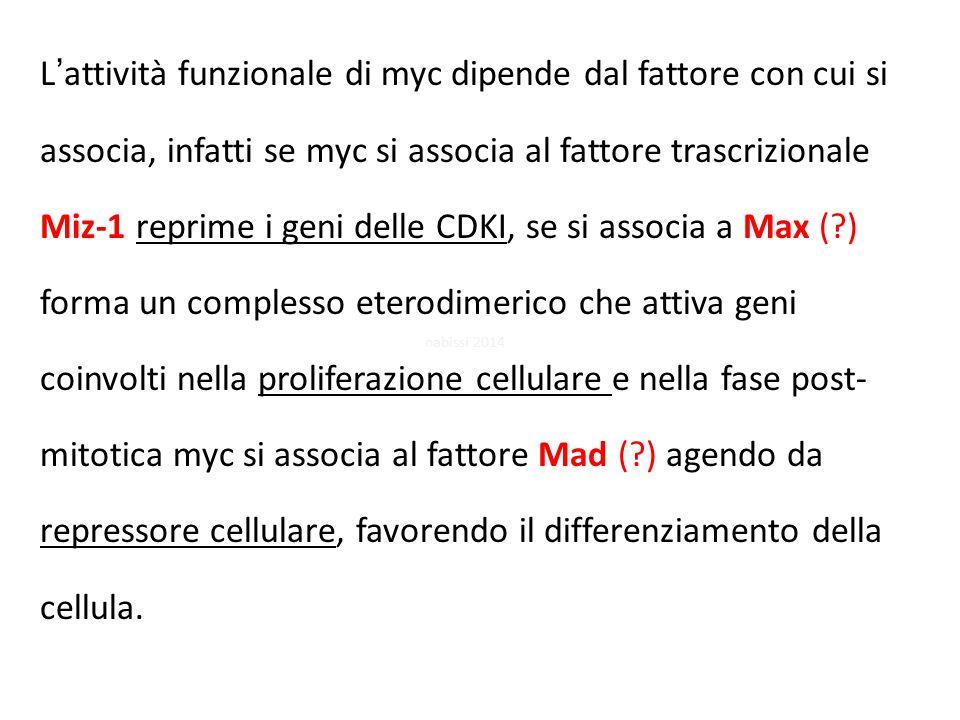 L'attività funzionale di myc dipende dal fattore con cui si associa, infatti se myc si associa al fattore trascrizionale Miz-1 reprime i geni delle CDKI, se si associa a Max ( ) forma un complesso eterodimerico che attiva geni coinvolti nella proliferazione cellulare e nella fase post- mitotica myc si associa al fattore Mad ( ) agendo da repressore cellulare, favorendo il differenziamento della cellula.