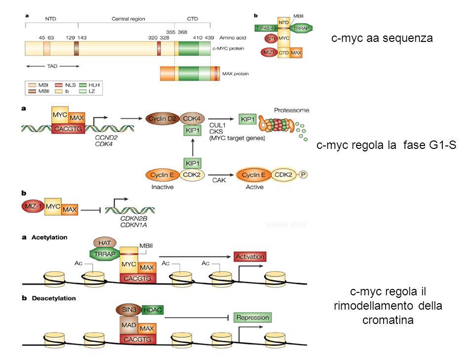 c-myc regola il rimodellamento della cromatina