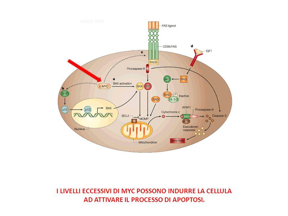 I LIVELLI ECCESSIVI DI MYC POSSONO INDURRE LA CELLULA