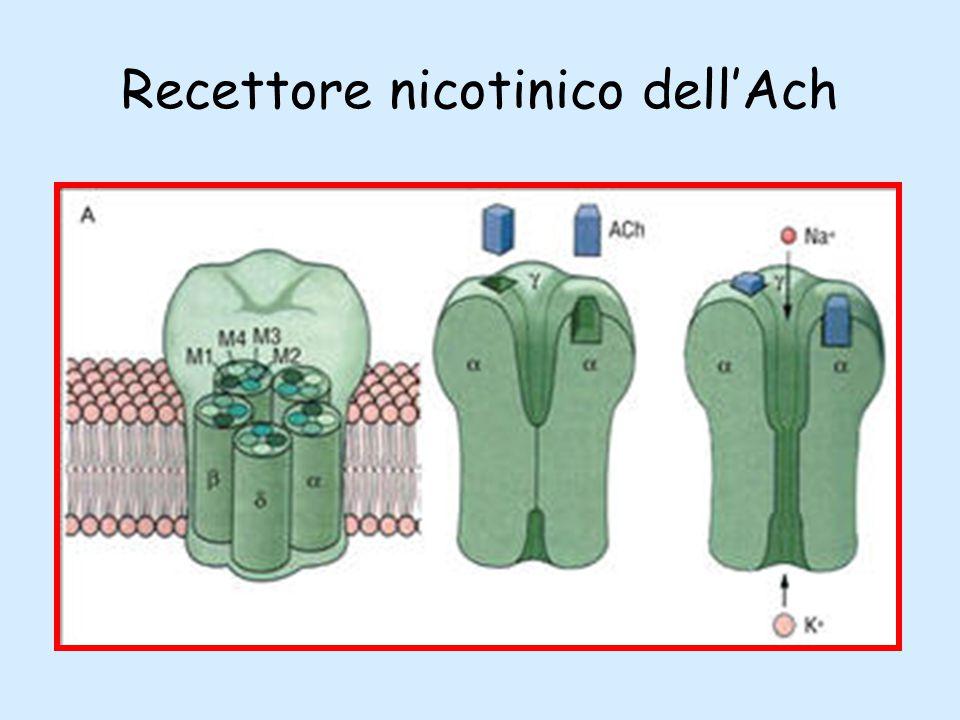 Recettore nicotinico dell'Ach