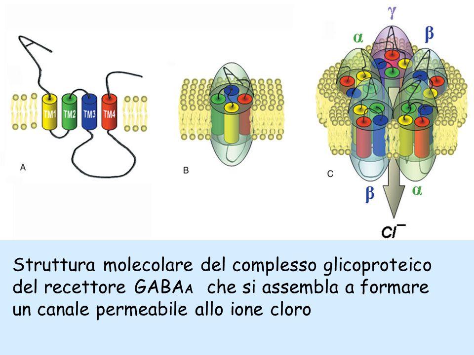Struttura molecolare del complesso glicoproteico del recettore GABAA che si assembla a formare un canale permeabile allo ione cloro