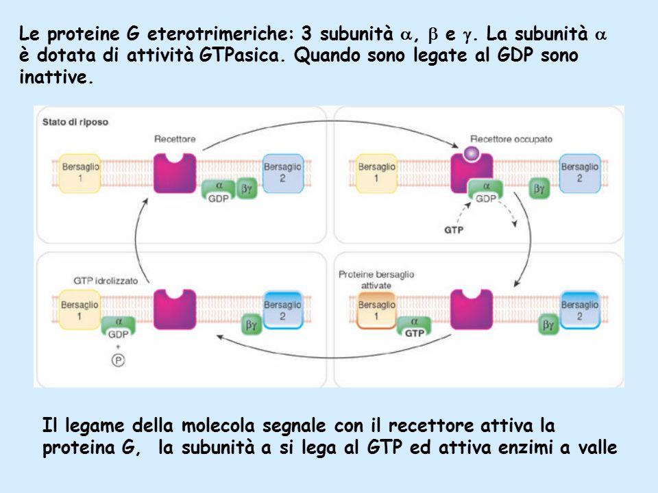 Le proteine G eterotrimeriche: 3 subunità ,  e 