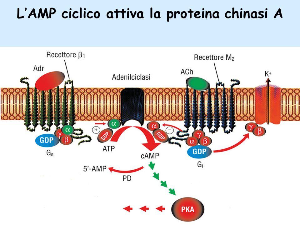 L'AMP ciclico attiva la proteina chinasi A