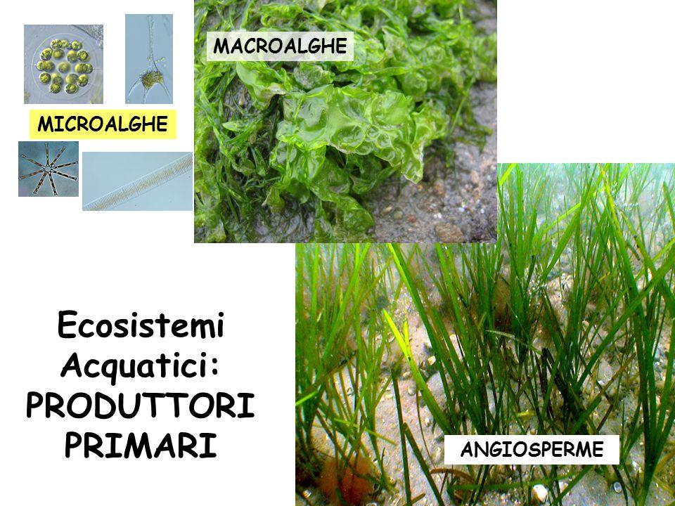 Ecosistemi Acquatici: PRODUTTORI PRIMARI