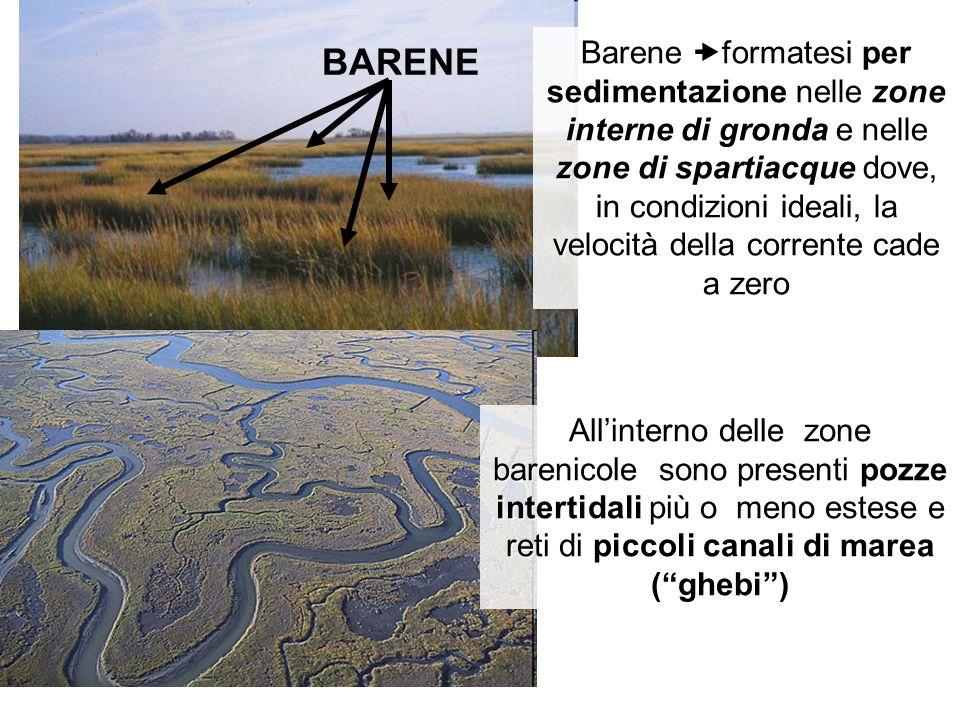 Barene formatesi per sedimentazione nelle zone interne di gronda e nelle zone di spartiacque dove, in condizioni ideali, la velocità della corrente cade a zero