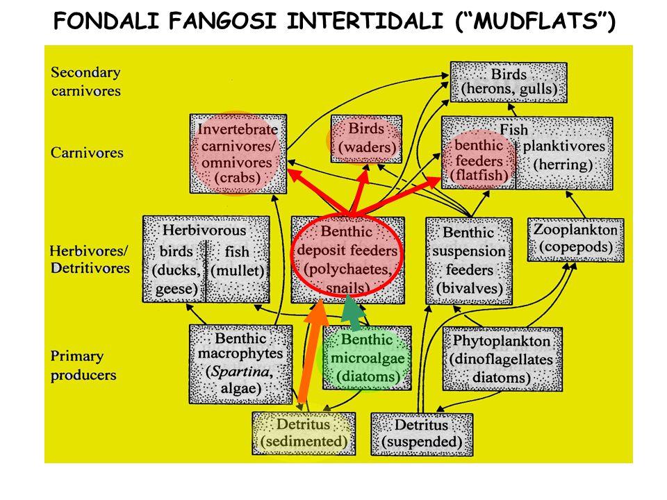 FONDALI FANGOSI INTERTIDALI ( MUDFLATS )