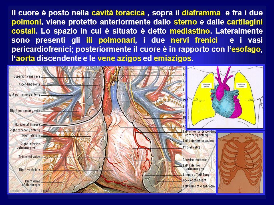 Il cuore è posto nella cavità toracica , sopra il diaframma e fra i due polmoni, viene protetto anteriormente dallo sterno e dalle cartilagini costali.