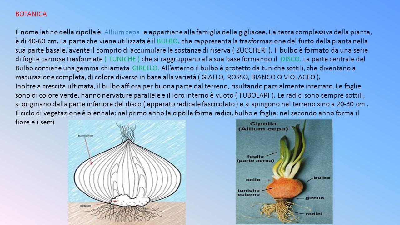 BOTANICA Il nome latino della cipolla è Allium cepa e appartiene alla famiglia delle gigliacee. L'altezza complessiva della pianta,