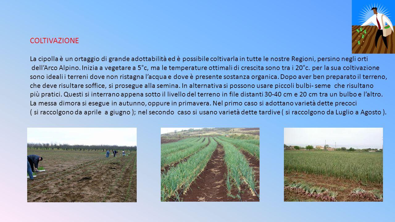 COLTIVAZIONE La cipolla è un ortaggio di grande adottabilità ed è possibile coltivarla in tutte le nostre Regioni, persino negli orti.