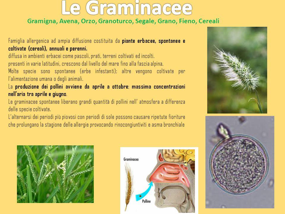 Le Graminacee Gramigna, Avena, Orzo, Granoturco, Segale, Grano, Fieno, Cereali.
