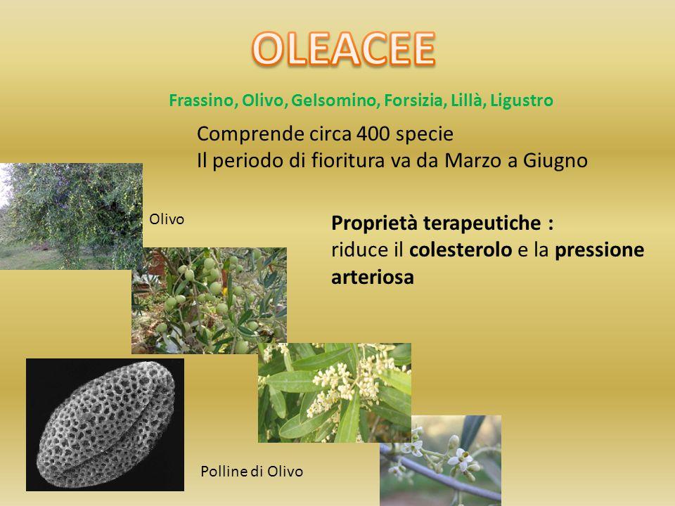 OLEACEE Comprende circa 400 specie