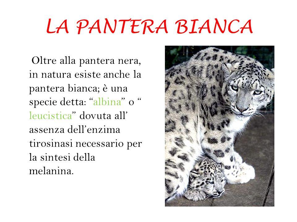 LA PANTERA BIANCA