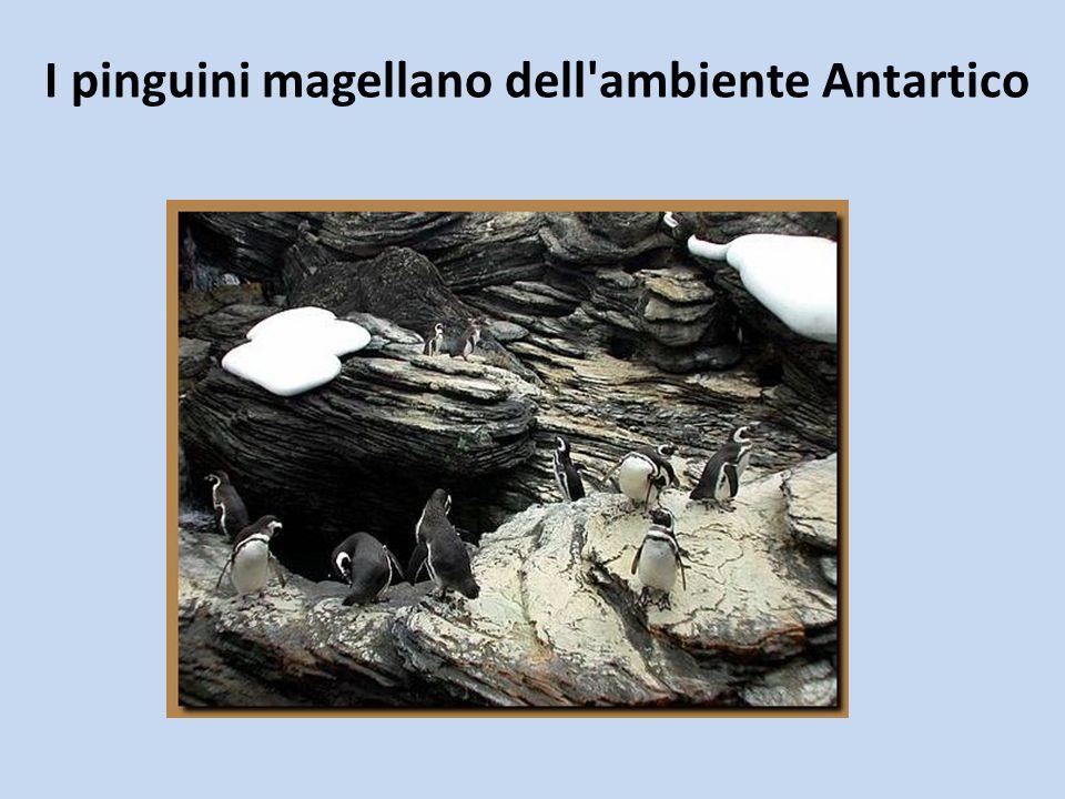 I pinguini magellano dell ambiente Antartico