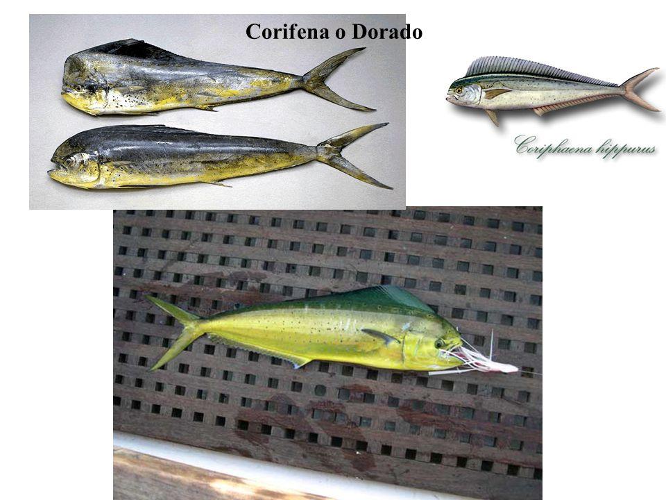 Corifena o Dorado