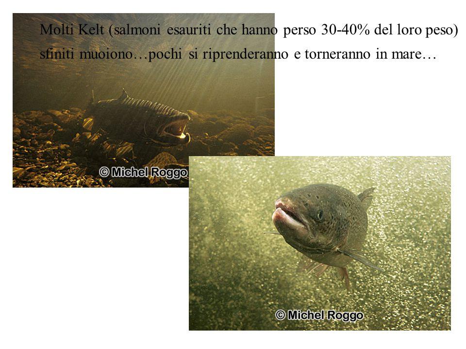Molti Kelt (salmoni esauriti che hanno perso 30-40% del loro peso)