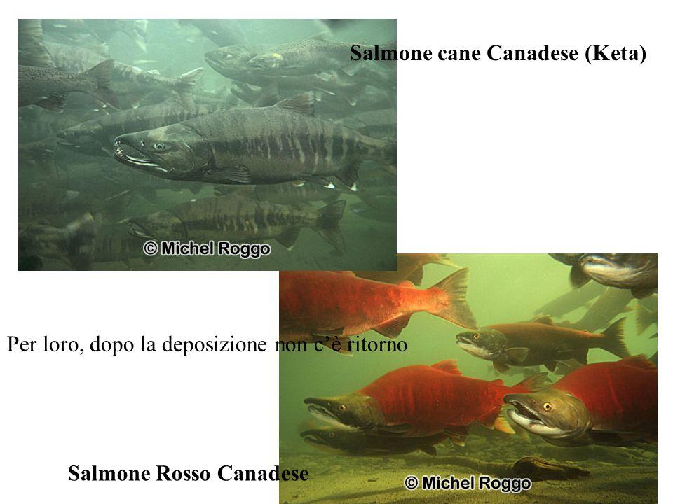 Salmone cane Canadese (Keta)