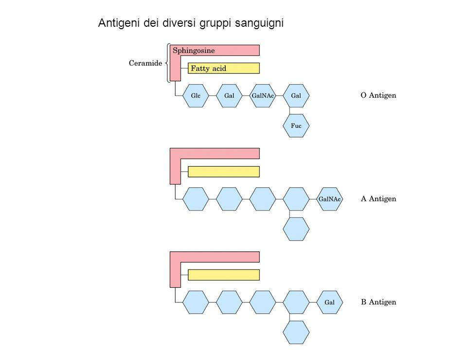 Antigeni dei diversi gruppi sanguigni