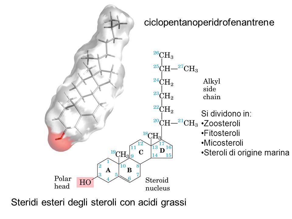 ciclopentanoperidrofenantrene