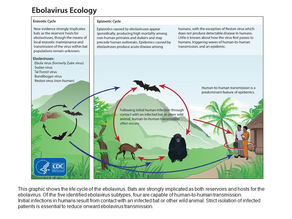 This graphic shows the life cycle of the ebolavirus