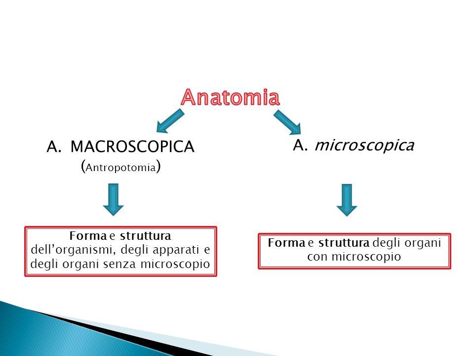 Forma e struttura degli organi con microscopio