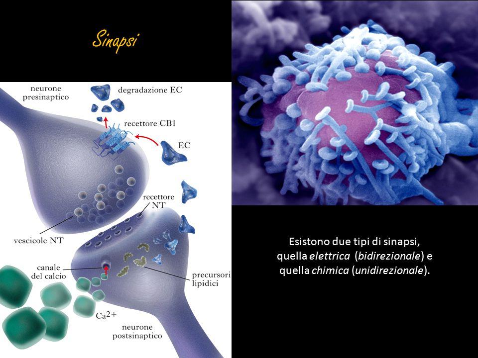 Sinapsi Esistono due tipi di sinapsi, quella elettrica (bidirezionale) e.
