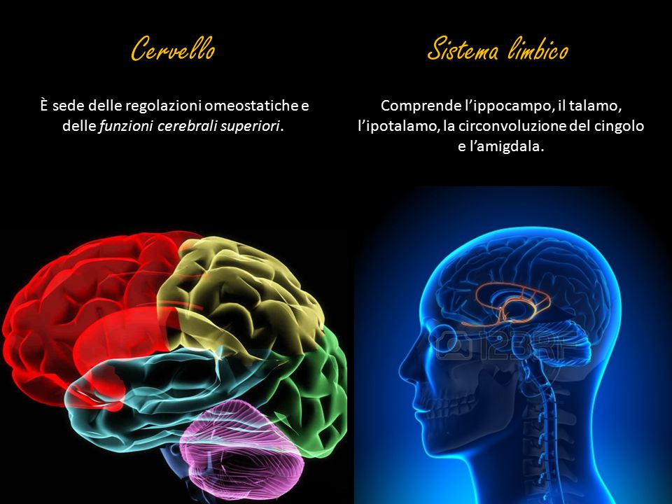 Cervello Sistema limbico
