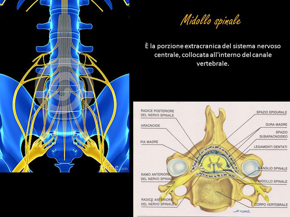 Midollo spinale È la porzione extracranica del sistema nervoso centrale, collocata all interno del canale vertebrale.