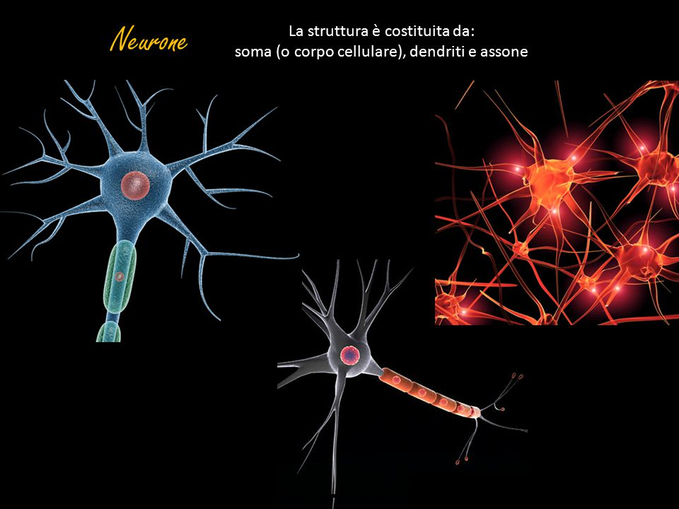 Neurone La struttura è costituita da: